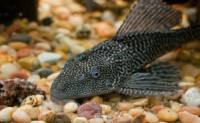 Плекостомус (лат. Hypostomus plecostomus) 6-7см