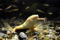 Шпорцевая лягушка желтая(Xenopus laevis)