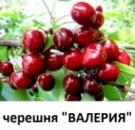 Саженцы черешни «ВАЛЕРИЯ (Valeriya)» 2 года