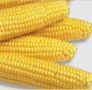 Насіння суперсолодкої кукурудзи Мегатон F1