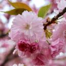 Сакура «Pink Perfection» 2х летняя