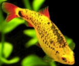 Барбус Шуберта (Barbus semifasciolatus `schuberti`)