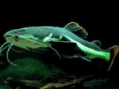 Краснохвостый сом или фрактоцефалус (Phractocephalus hemioliopterus) 12см