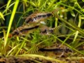 хаброзус(Сorydoras habrosus) 2см