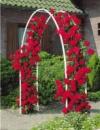 Роза вьющаяся «Mushimara» (Мушимара), саженец 15-20 см