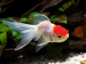 Золотая рыбка - Оранда Красная шапочка (Tancho Oranda)