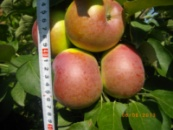 Саженец колоновидной яблони Арбат
