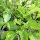 Шелковица Извилистая «Tortuosa» (Привитая на штамб)