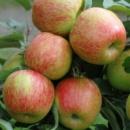 Яблуня «Бребурн»