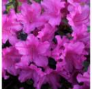 Азалия японская Блю Данубе 4х летняя (Rhododendron /Azalea japonica Blue Danube)