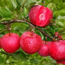 Яблоня Красномясая «Бая Мариса» (зимний сорт)