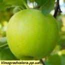 Яблоня Муцу 110-140 см