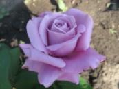 Роза Блу нил. Blue Nile