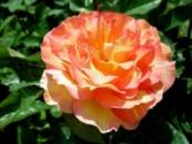 Роза Поль Сезанн. Paul Cezanne