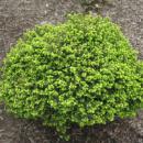 Ель обыкновенная / европейская Литл Джем 3х летняя (Picea abies Little Gem)