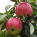 Яблоня «Мельба», 3 года