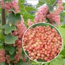 Смородина Розовая Чудесная