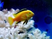 лабидохромис елоу(Labidochromis caeruleus)