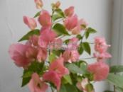 Бугенвиллия Australion Pink