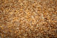 пшеница 4, 5, 6 кл