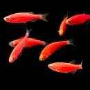 данио GloFish starfire