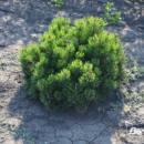 Сосна горная / карликовая Монтана (Pinus mugo Montana) 2х летняя