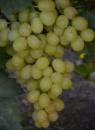 Виноград Белоснежка (вегетирующий саженец) Черенок 25 грн.
