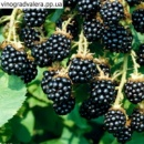 Ежевика Лох Тей (Loch Tay Blackberry) (двухлетка-120 грн.)