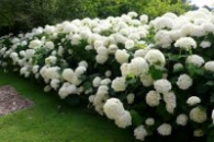 саженцы гортензия белая садовая