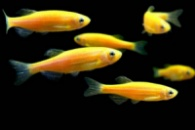 данио Sunburst Orange Glofish
