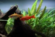 барбус Вишневый (Barbus titteya) 2см