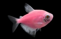 тернеция GloFish розовая(карамелька)
