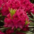Рододендрон гибридный Нова Зембла 3х летний (Rhododendron Nova Zembla)