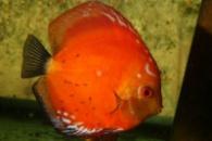 Дискус Красный Мальборо ( Symphysodon aequifasciata Marlboro red ) 4см