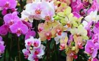 орхидеи -фаленопсис