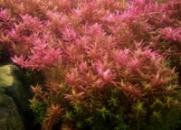 Ротала круглолистная или Ротала индийская (Rotala rotundifolia или Rotala indica)
