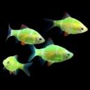 барбус кольти GloFish (Barbus tetrazona GLOFISH)