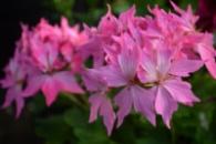 Пеларгония Firewoks pink