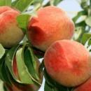 Персик «Золотой юбилей» 2 года