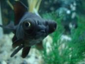 Золотая рыбка Телескоп (CARASSIUS AURATUS) 4-5см