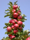Яблоня Джин