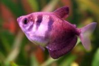 тернеция GloFish розовая(с полосками) 2см