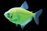 тернеция GloFish лазер (салатовая)