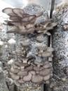 Мицелий грибов Вешенка. 4 кг Морозоустойчивый. 4 кг