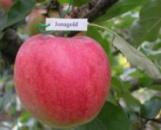 Яблоня «Джонаголд», 3 года