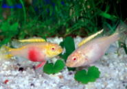 Пельвикахромис пульхер ред альбино (Pelvicachromis pulcher red albino)