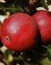 Яблуня «Ліберті»