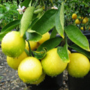 Лимон Любимчик