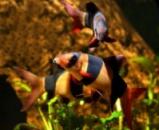 Боция клоун (Botia macracanthus) 4см