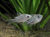 нанус(Corydoras nanus)4см